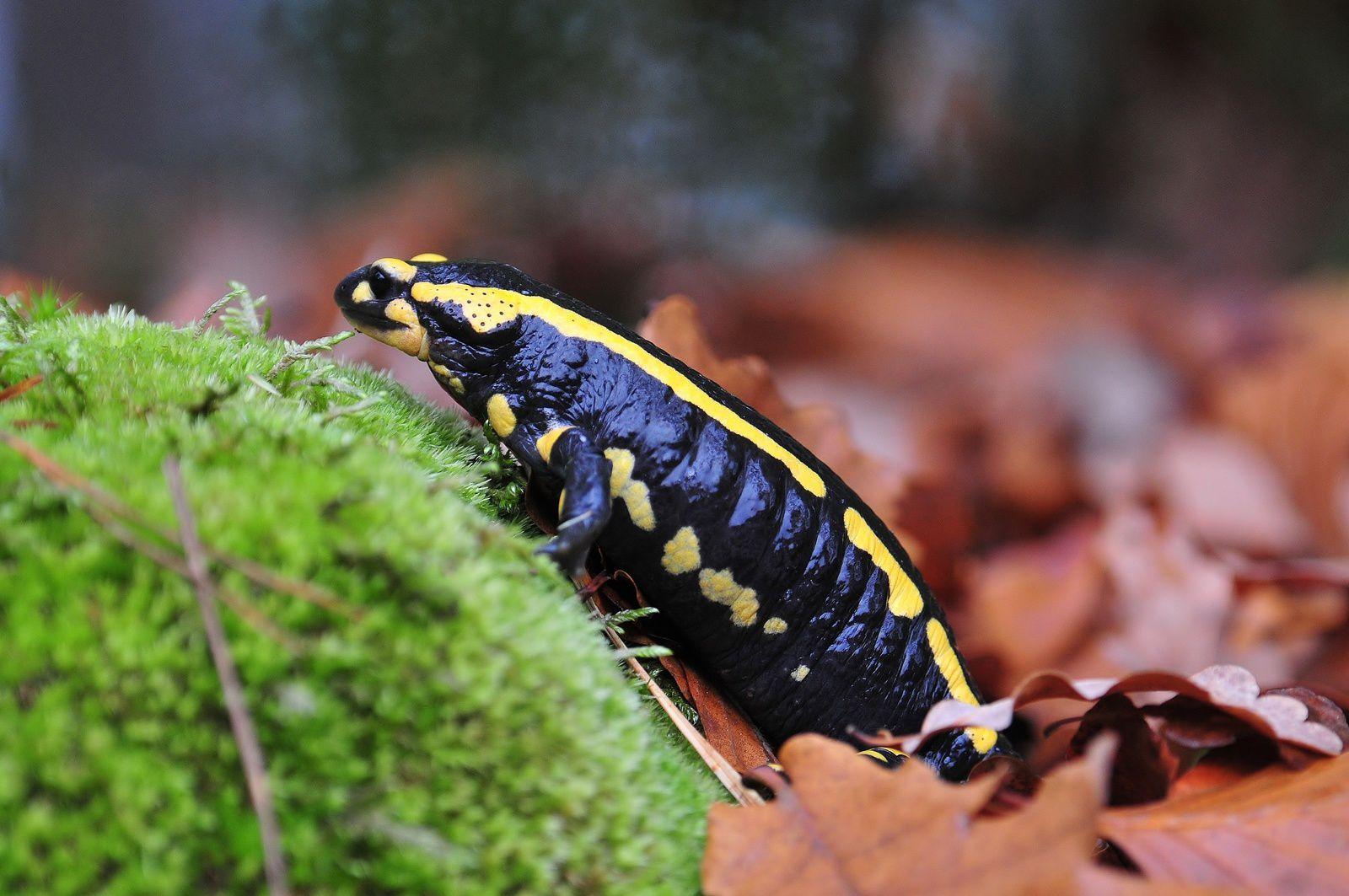 Salamandre tachetée. Les taches permettent de différencier les individus.