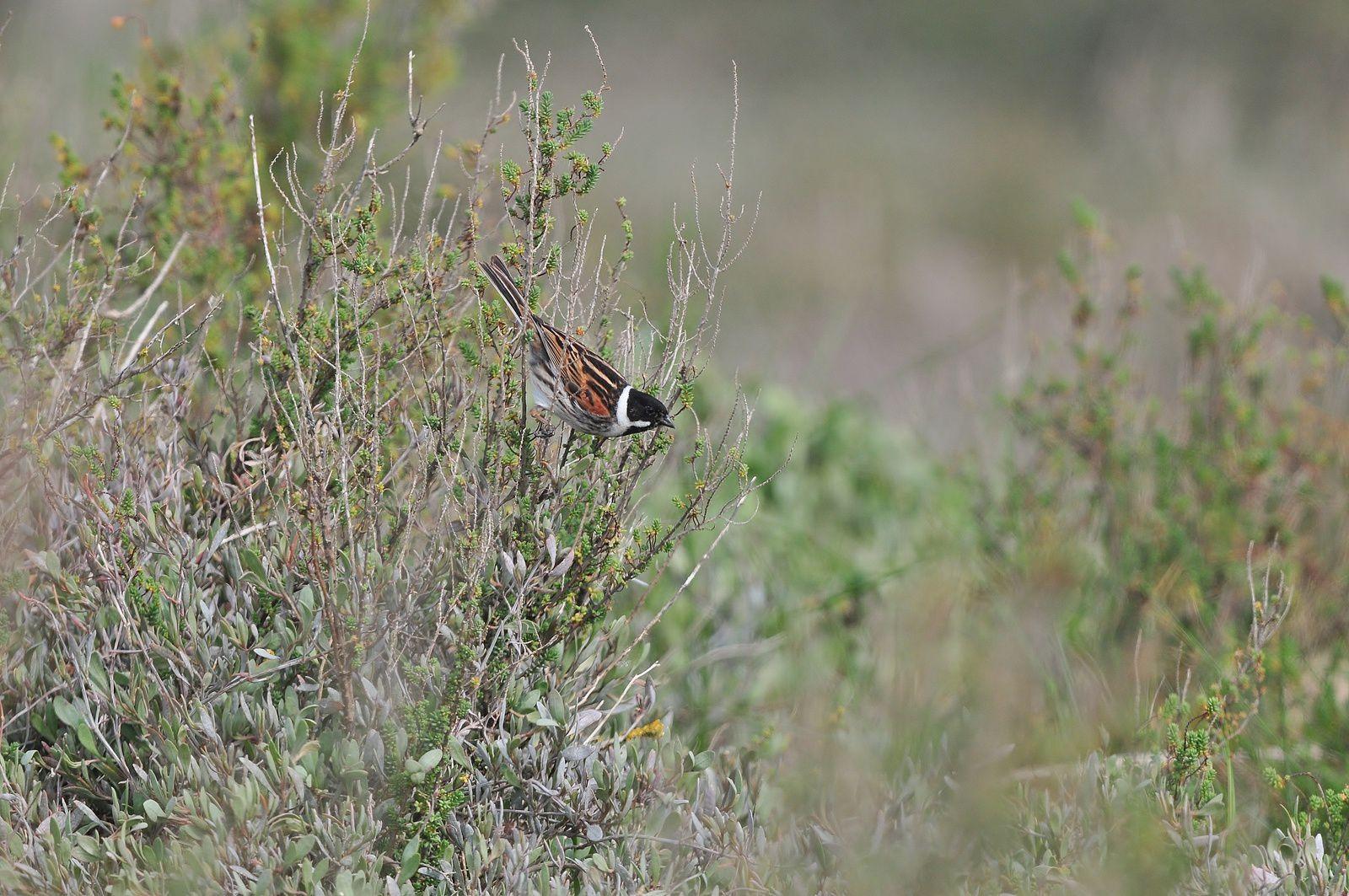 Bruant des roseaux (mâle).