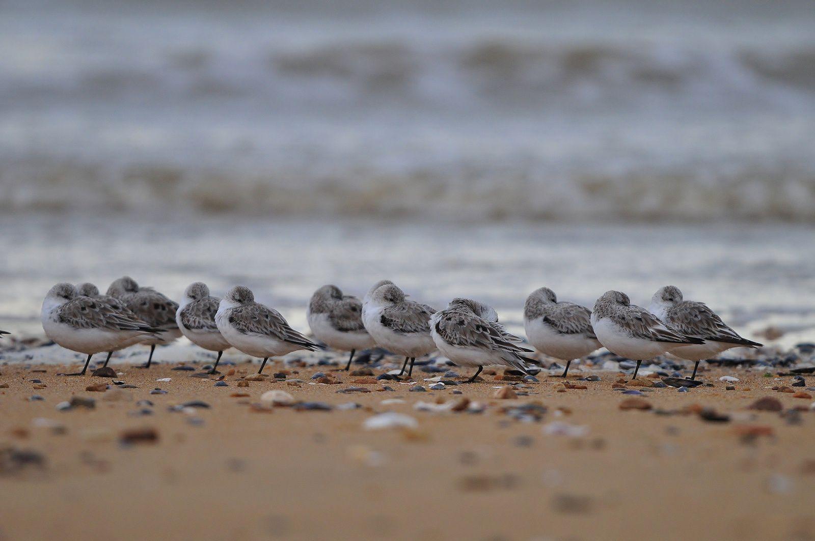 Bécasseaux sanderlings.