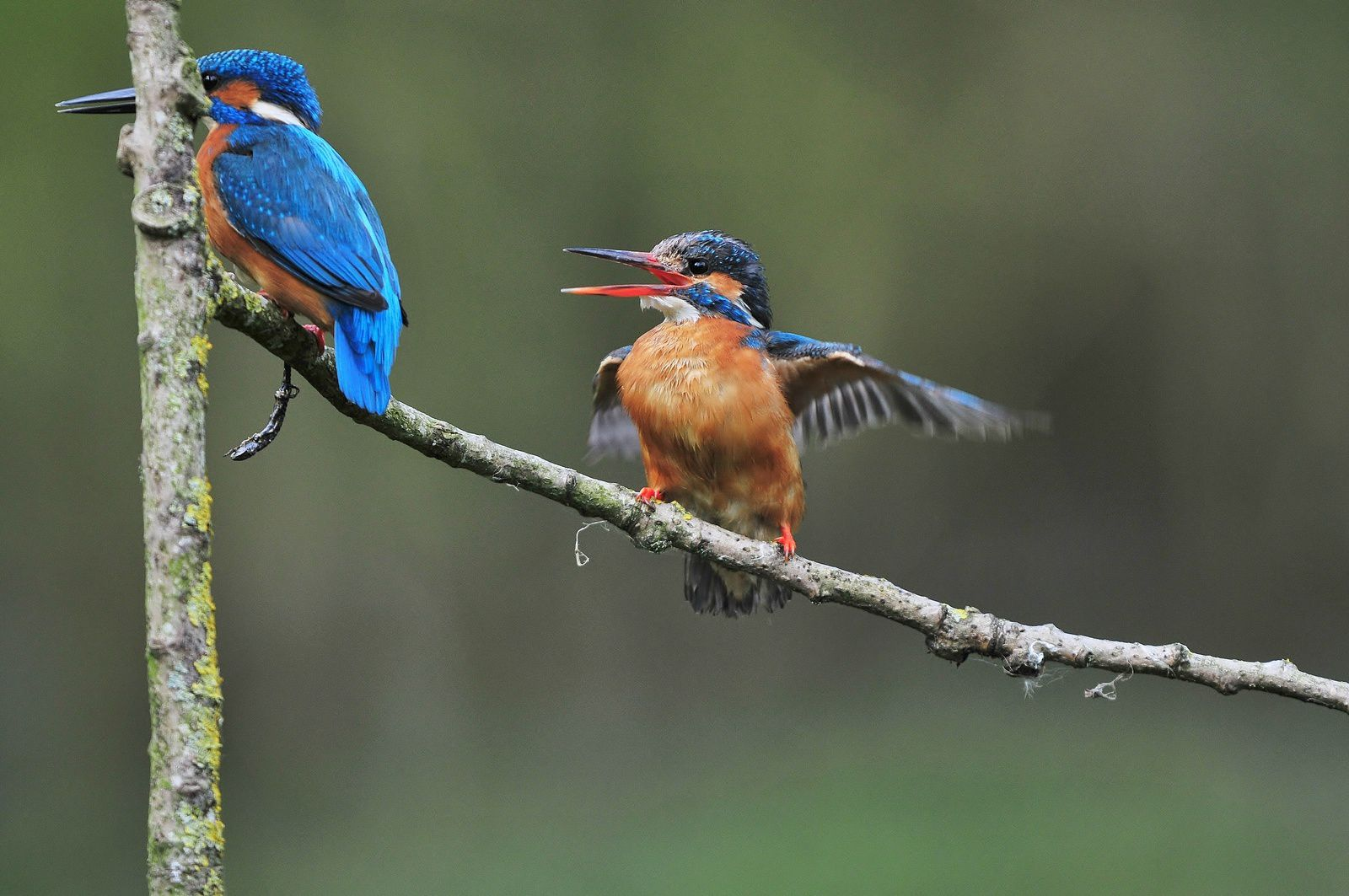 Martins pêcheurs d'Europe (mâle et femelle).