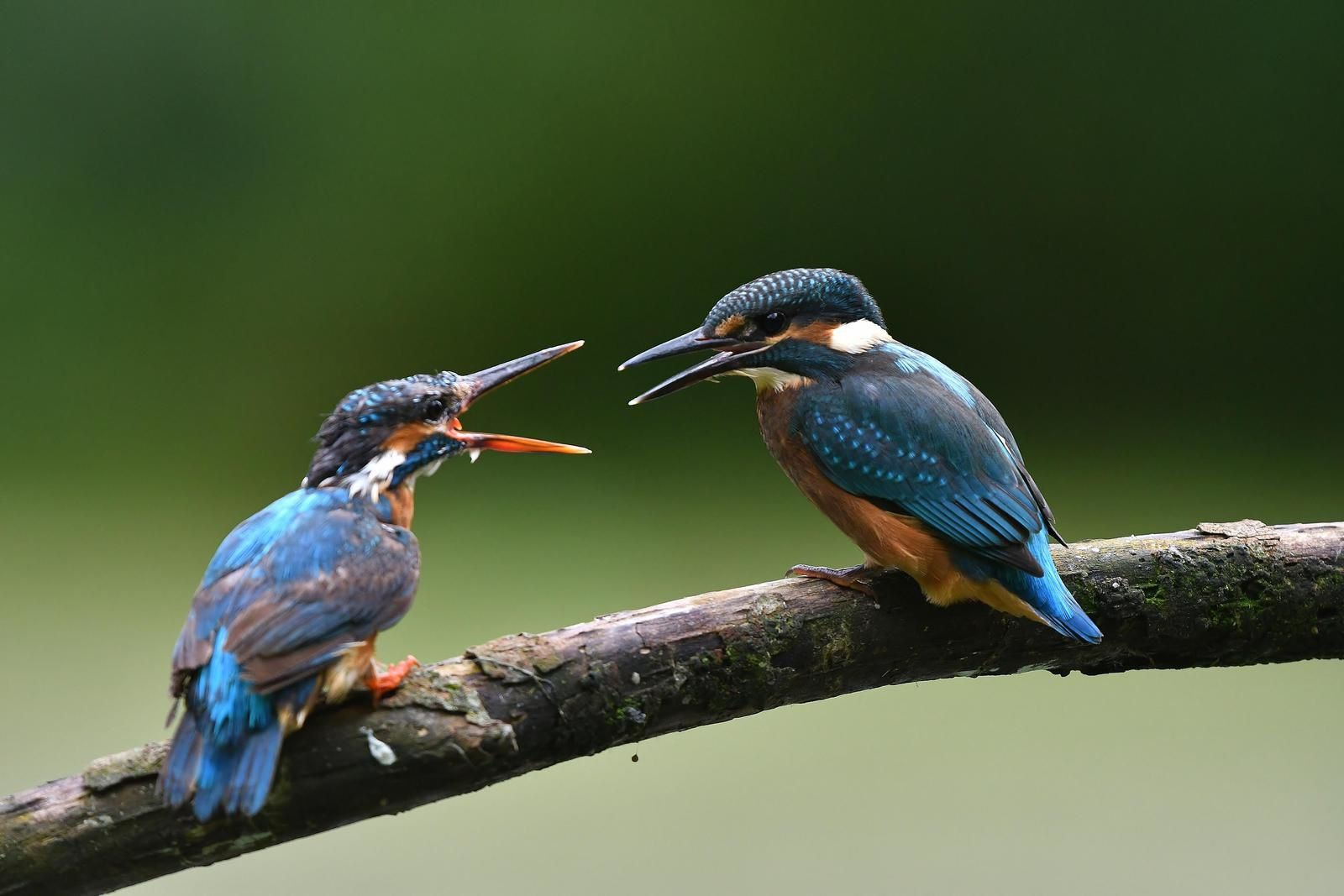 Martins pêcheurs d'Europe (Alcedo atthis).