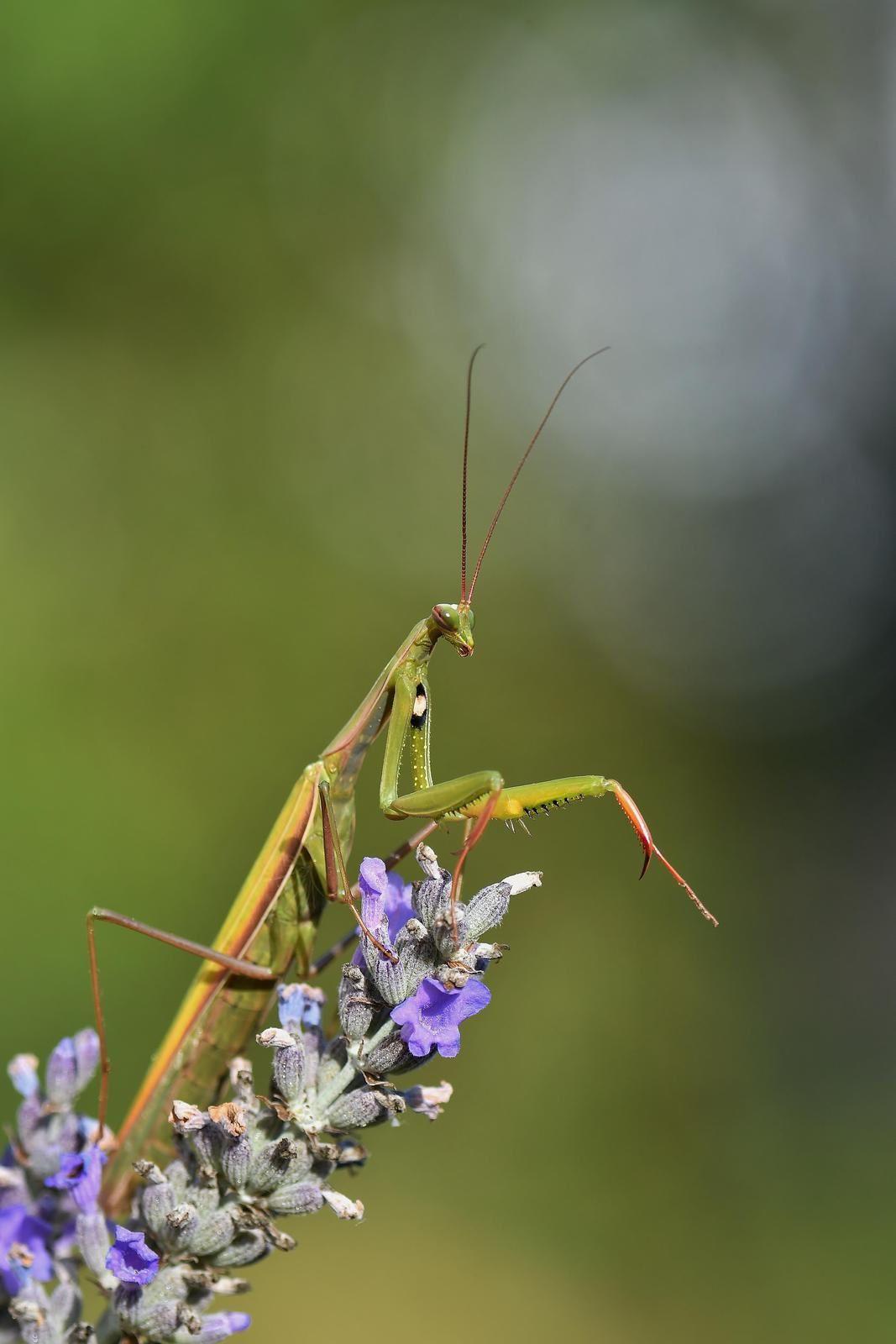 Mante religieuse (Mantis religiosa).