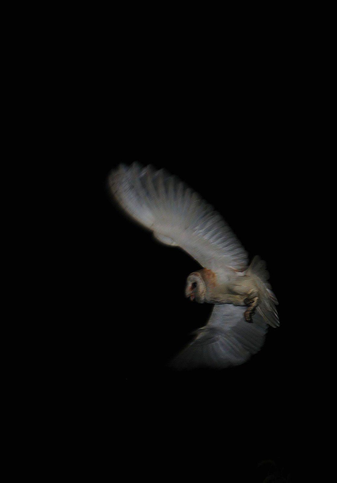 Effraie des clochers (Tyto alba).