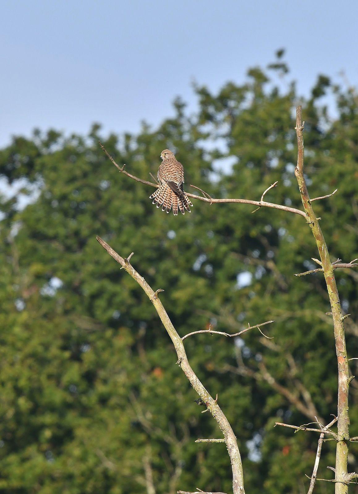 Faucon crécerelle (Falco tinnunculus).