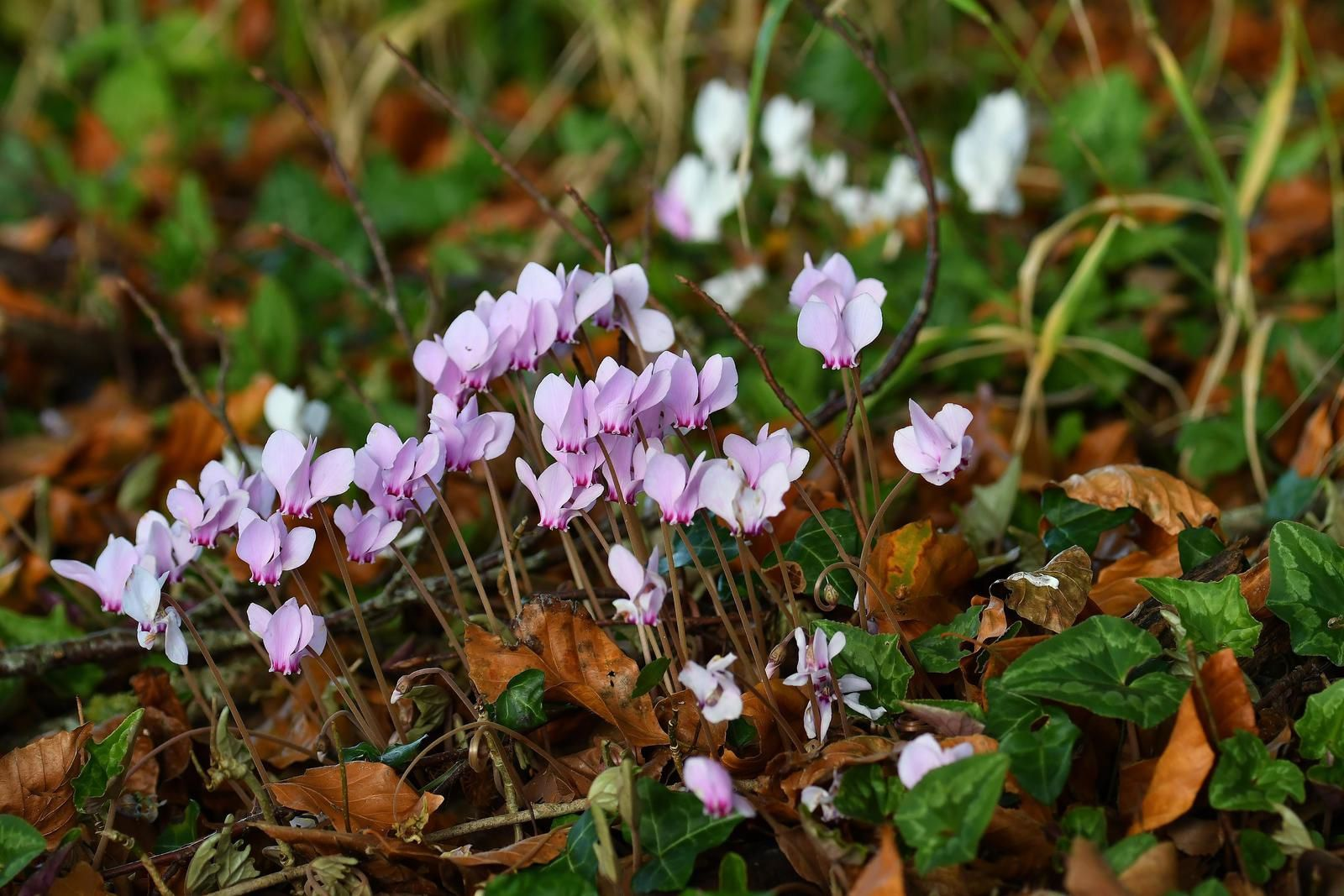 Cyclamens sauvages (ou plantes naturalisées).