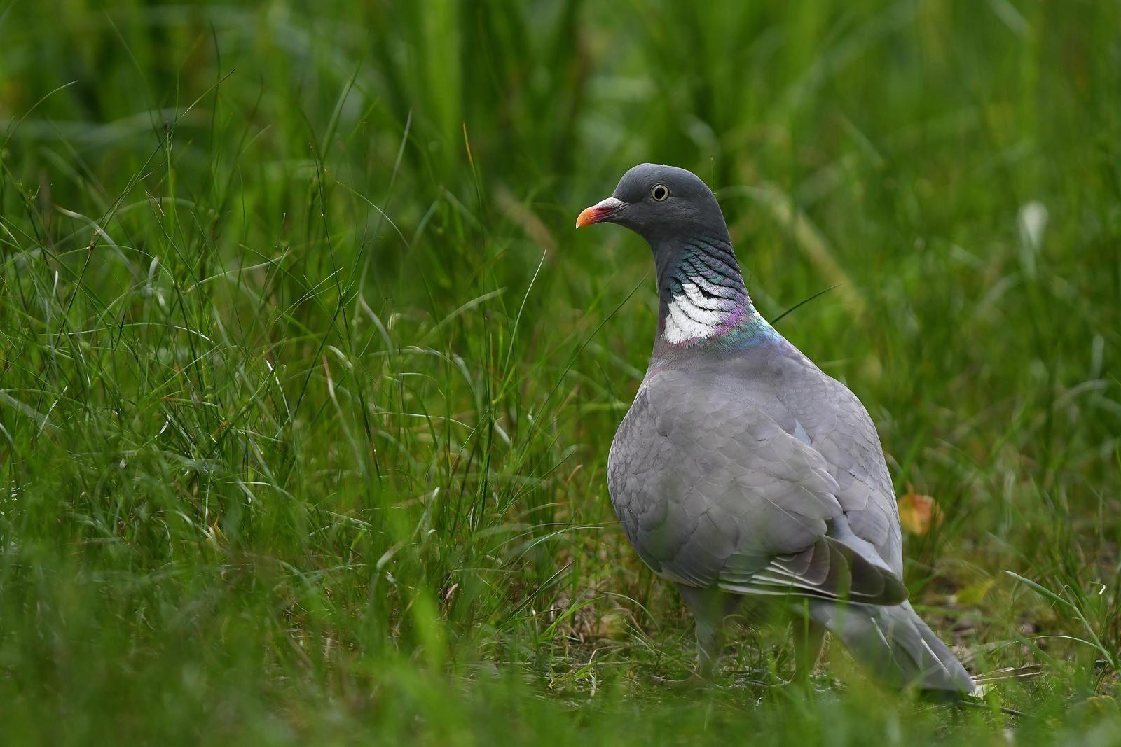 Pigeon ramier (Columba palumbus).