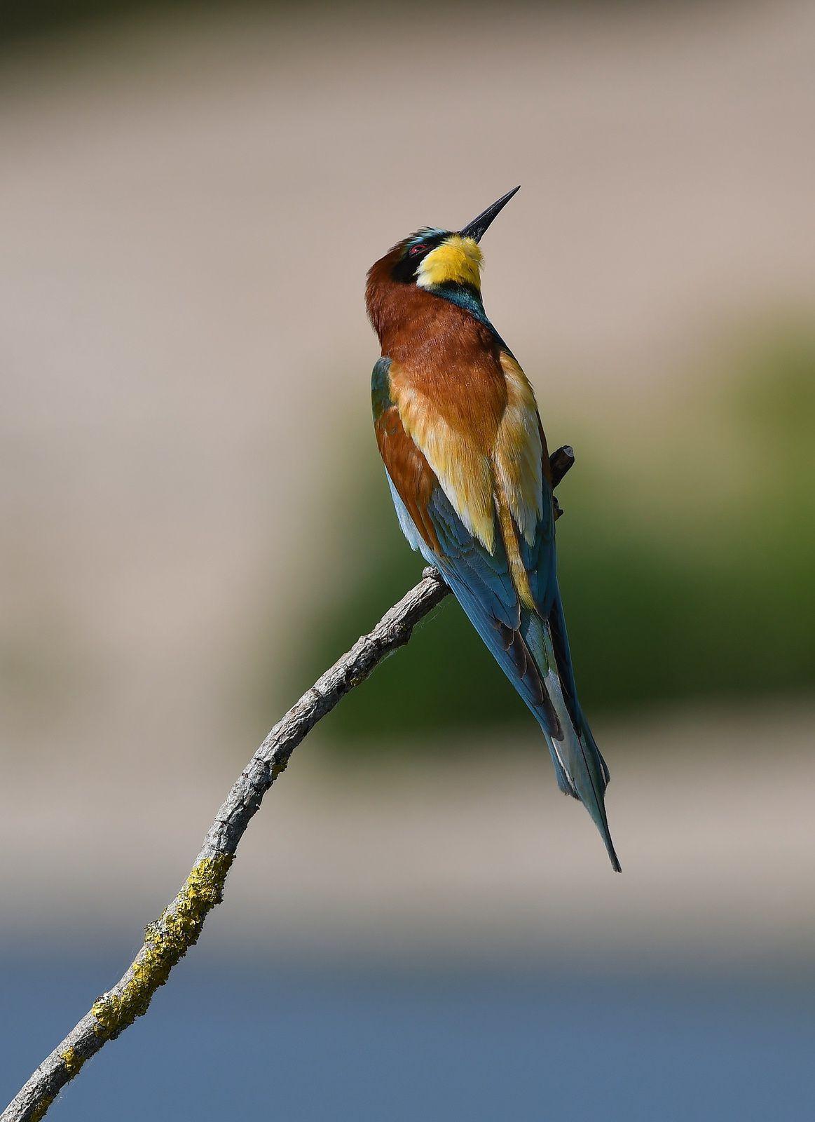 Guêpier d'Europe (Merops apiaster).