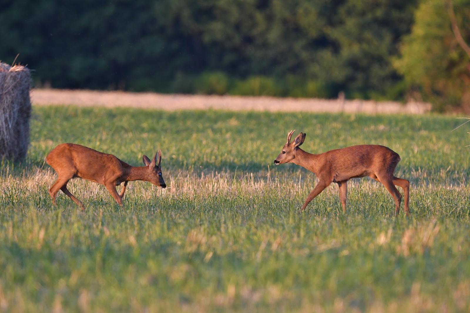 Jeunes bocards (chevreuil européen).