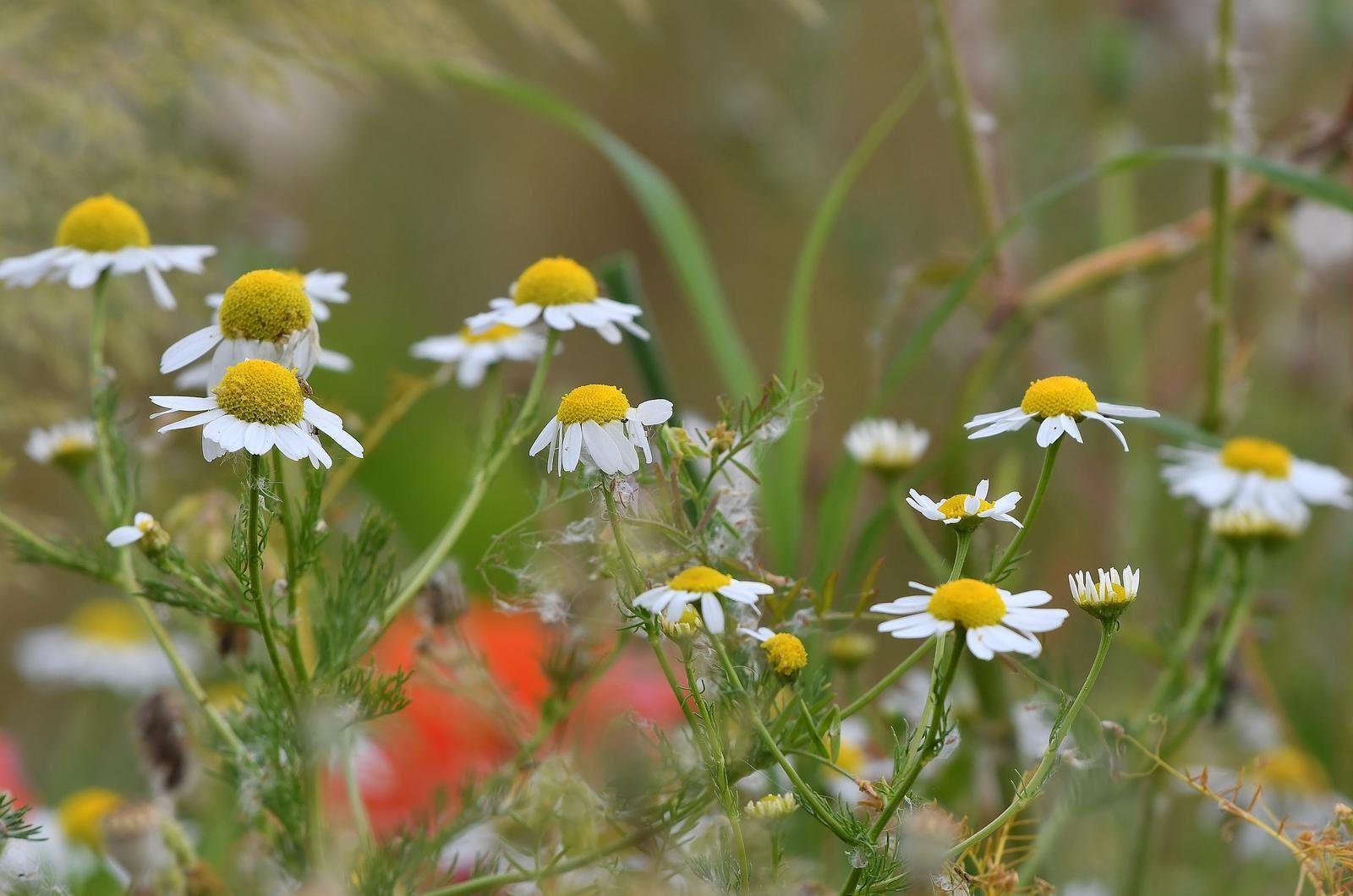 Camomille matricaire (Matricaria recutita).