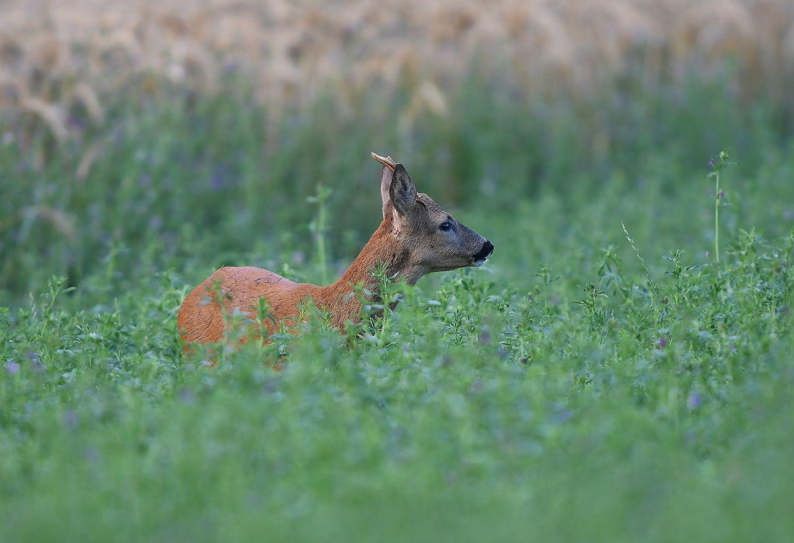Jeune brocard (chevreuil européen).