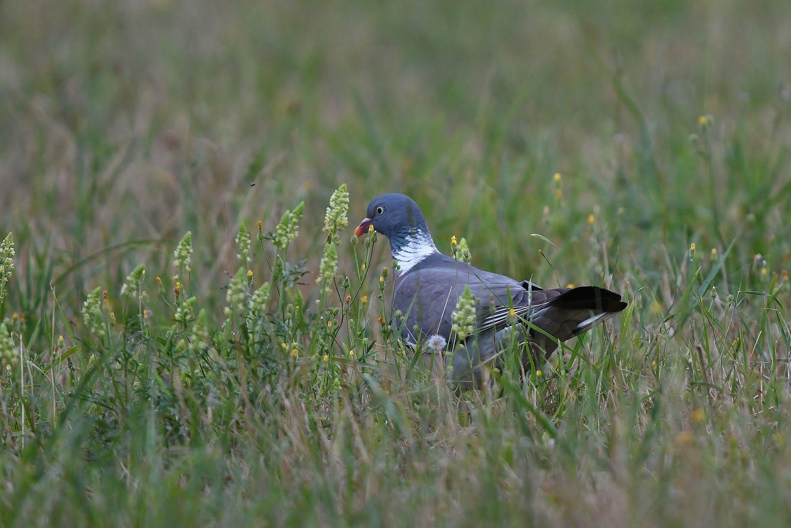 Pigeons ramiers.