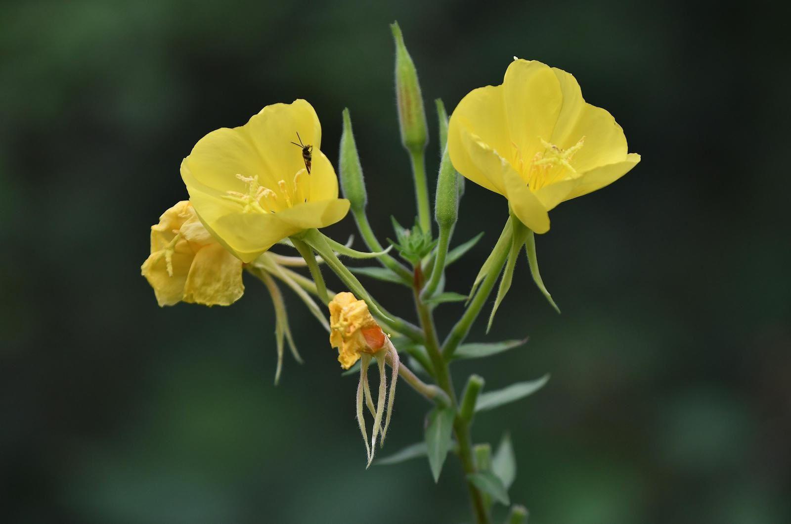 Onagre bisannuelle (Oenothera biennis)