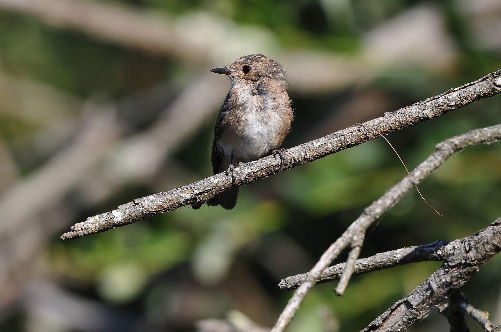 Gobemouche gris (Muscicapa striata).