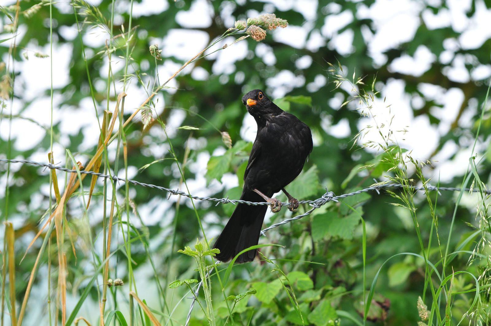 Merle noir (Turdus merula).