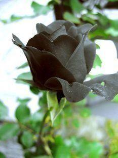 La Rose Noire De Halfeti Et Son Origine Lyonnaise Couleurs D Istanbul