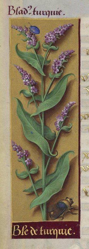 Le sarrasin, blé de Turquie et Anne de Bretagne
