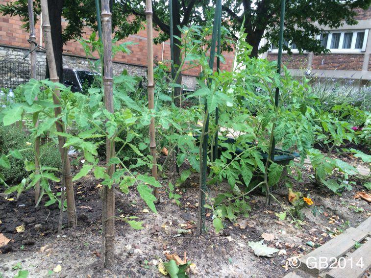 conseils pour la culture des tomates la verte le des jardins familiaux du quartier