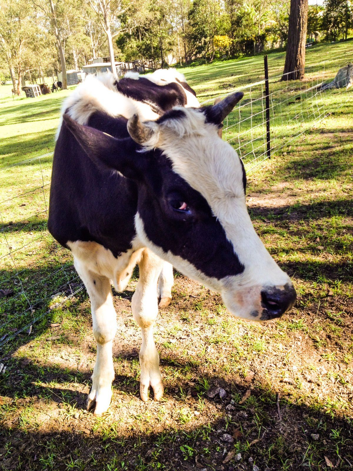 Billy the cow