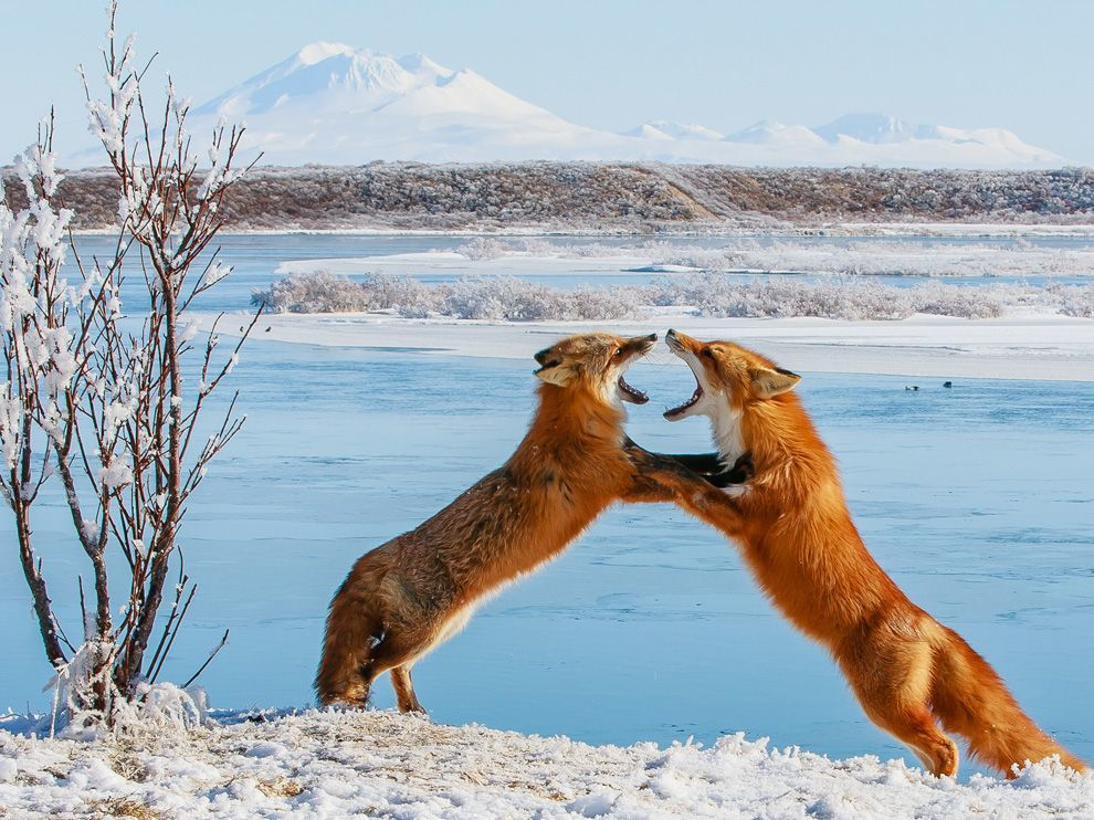 Source: http://photography.nationalgeographic.com/photography/photo-of-the-day/foxes-sparring-alaska/
