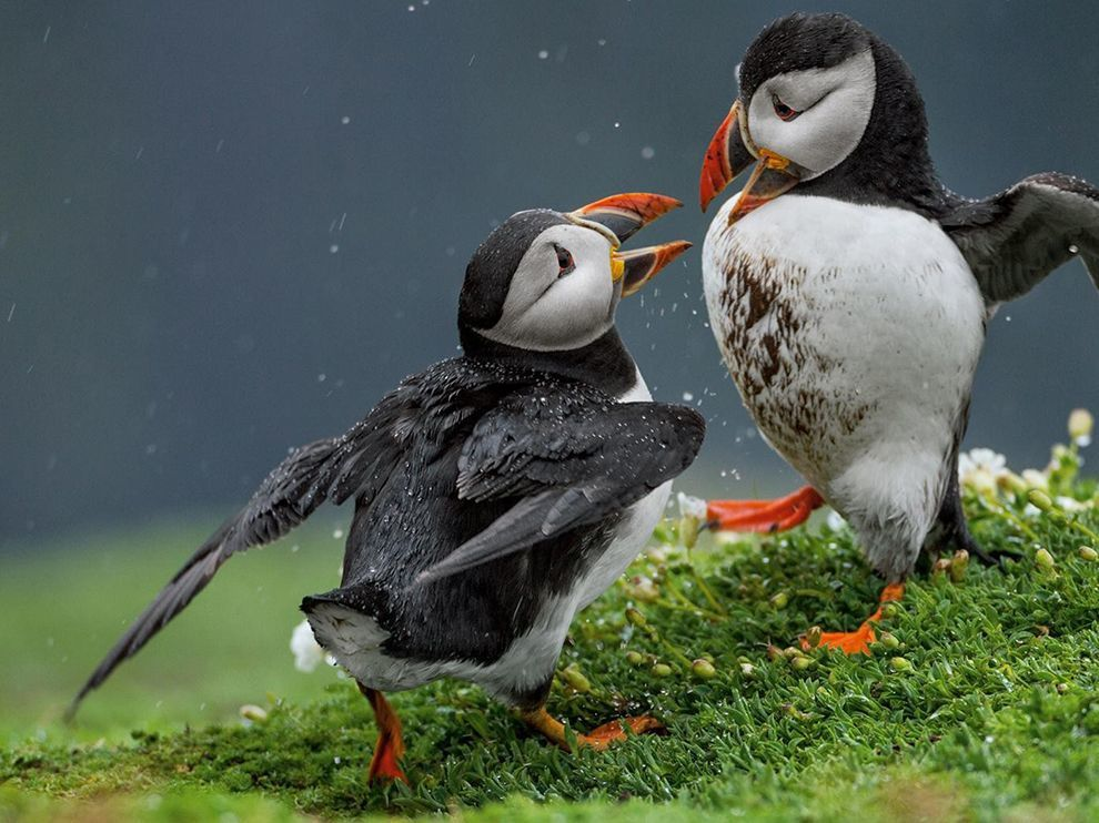 Source: http://photography.nationalgeographic.com/photography/photo-of-the-day/puffins-duel-skomer-green/