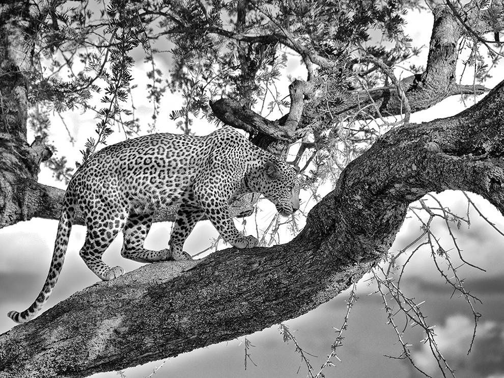 Source: leopard-acacia-tanzania-tarangire_81649_990x742 Photo of a day National Geographic