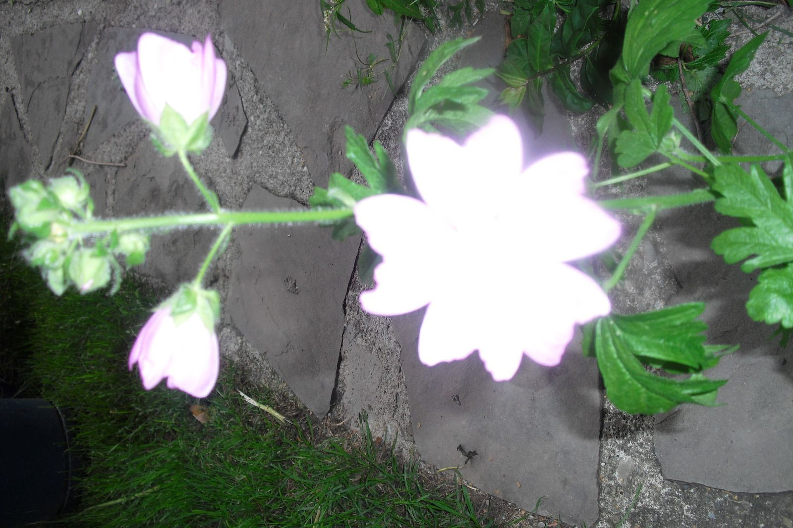 Des fleurs et des fleurs..De mon jardin ...