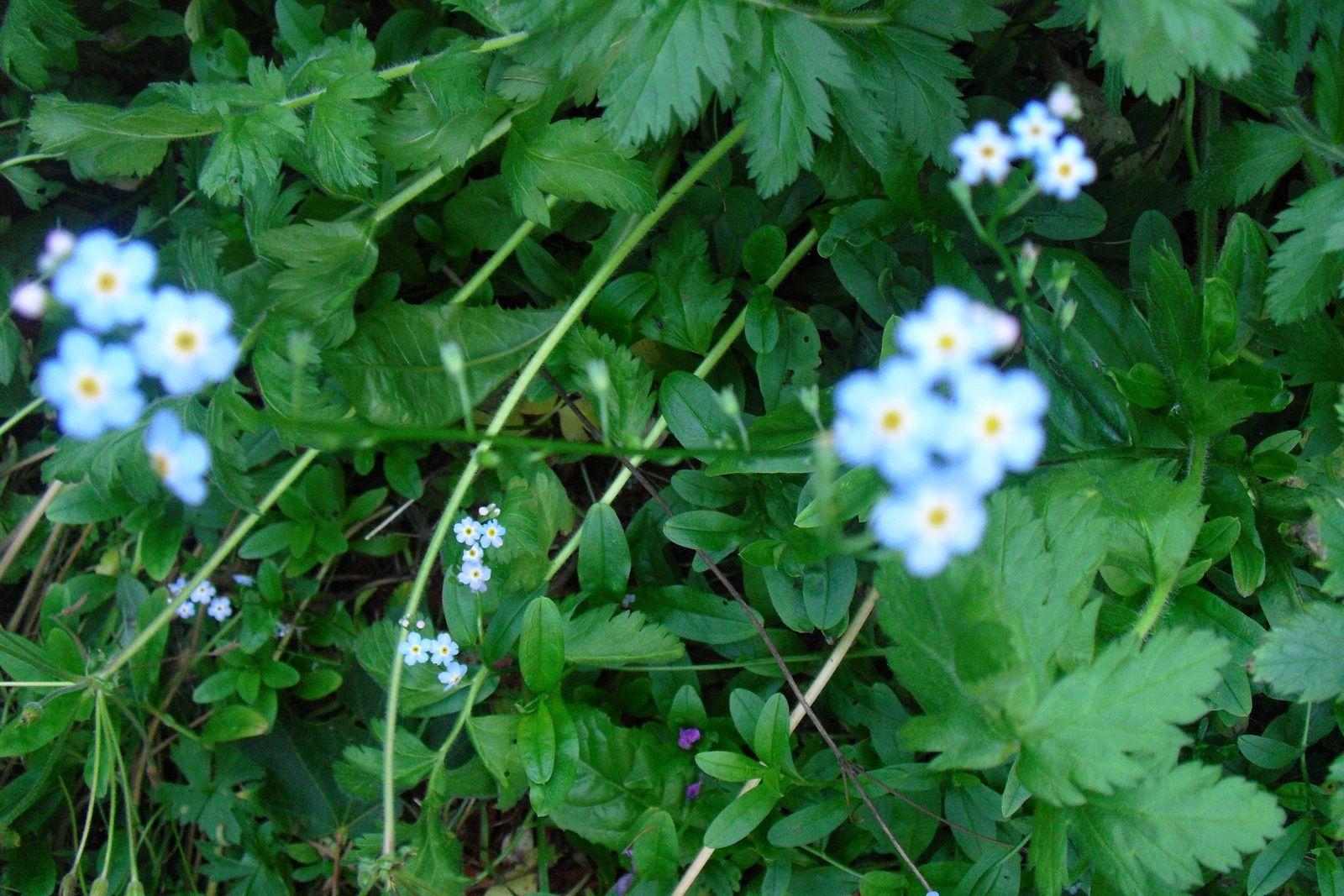 Encore des fleurs , toujours des fleurs de mon jardin !