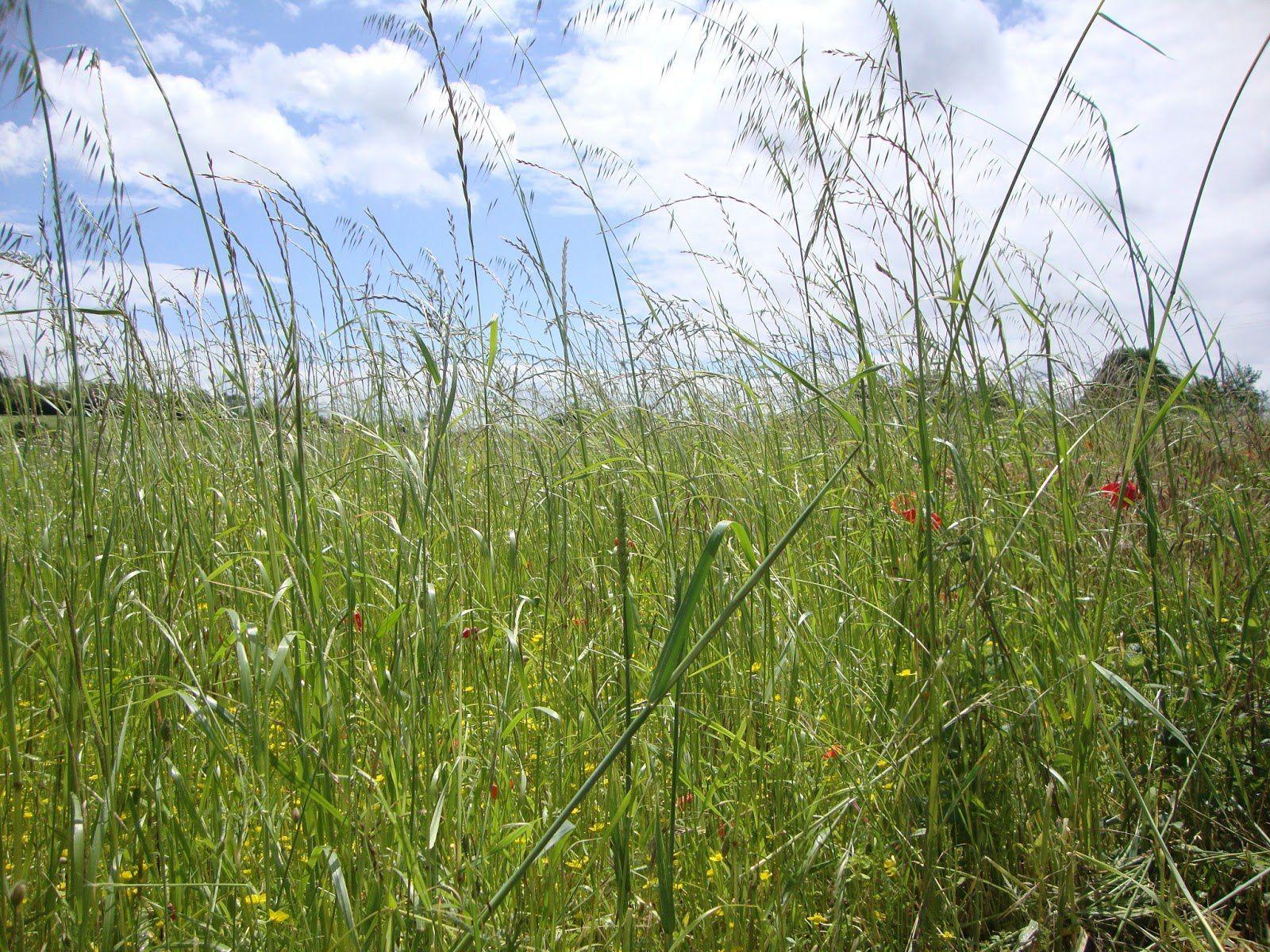 On tond les herbes hautes chez nous c 39 est comme a for Quand tailler les graminees