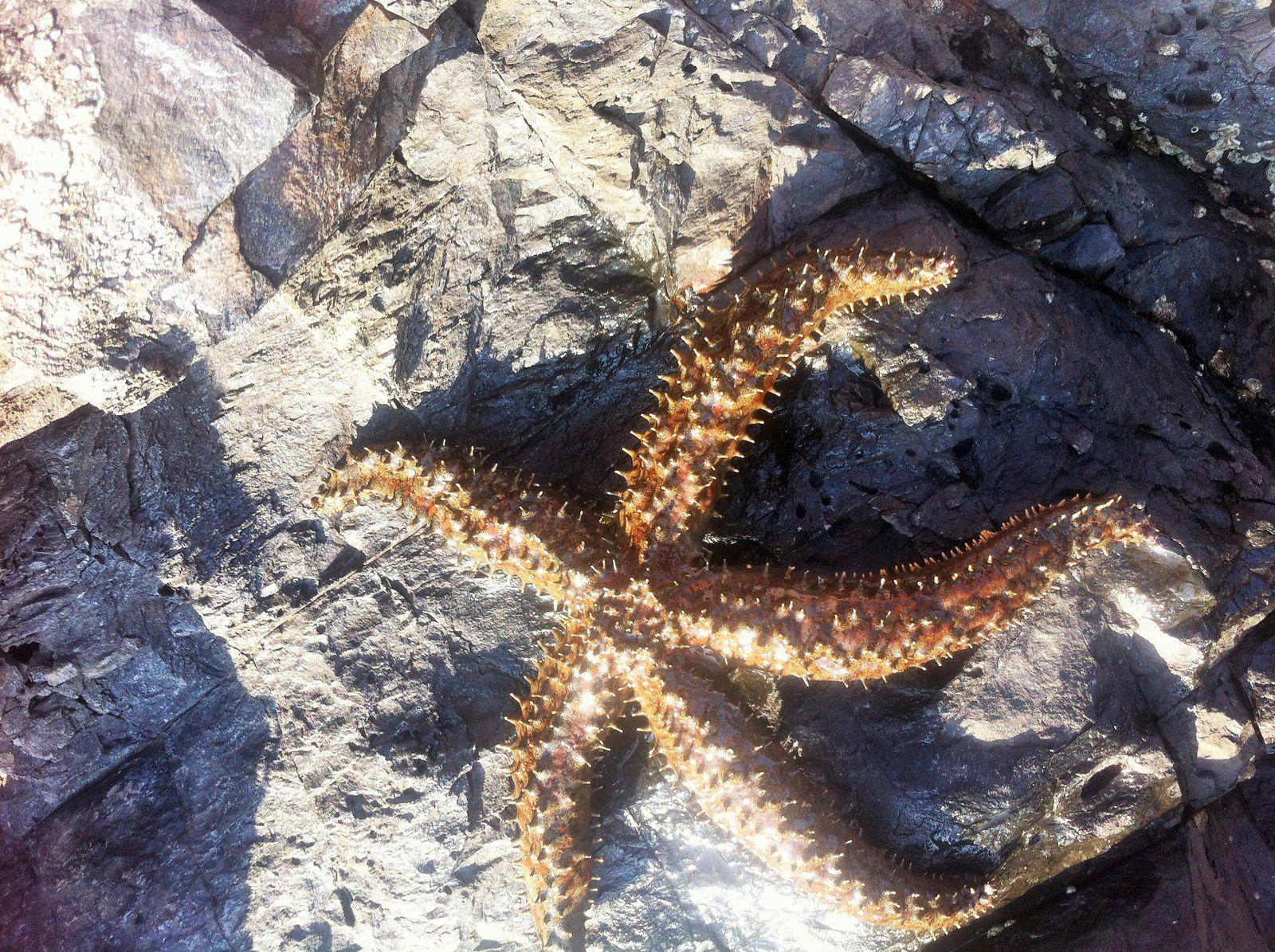 étoiles de mer en Côte Vermeille