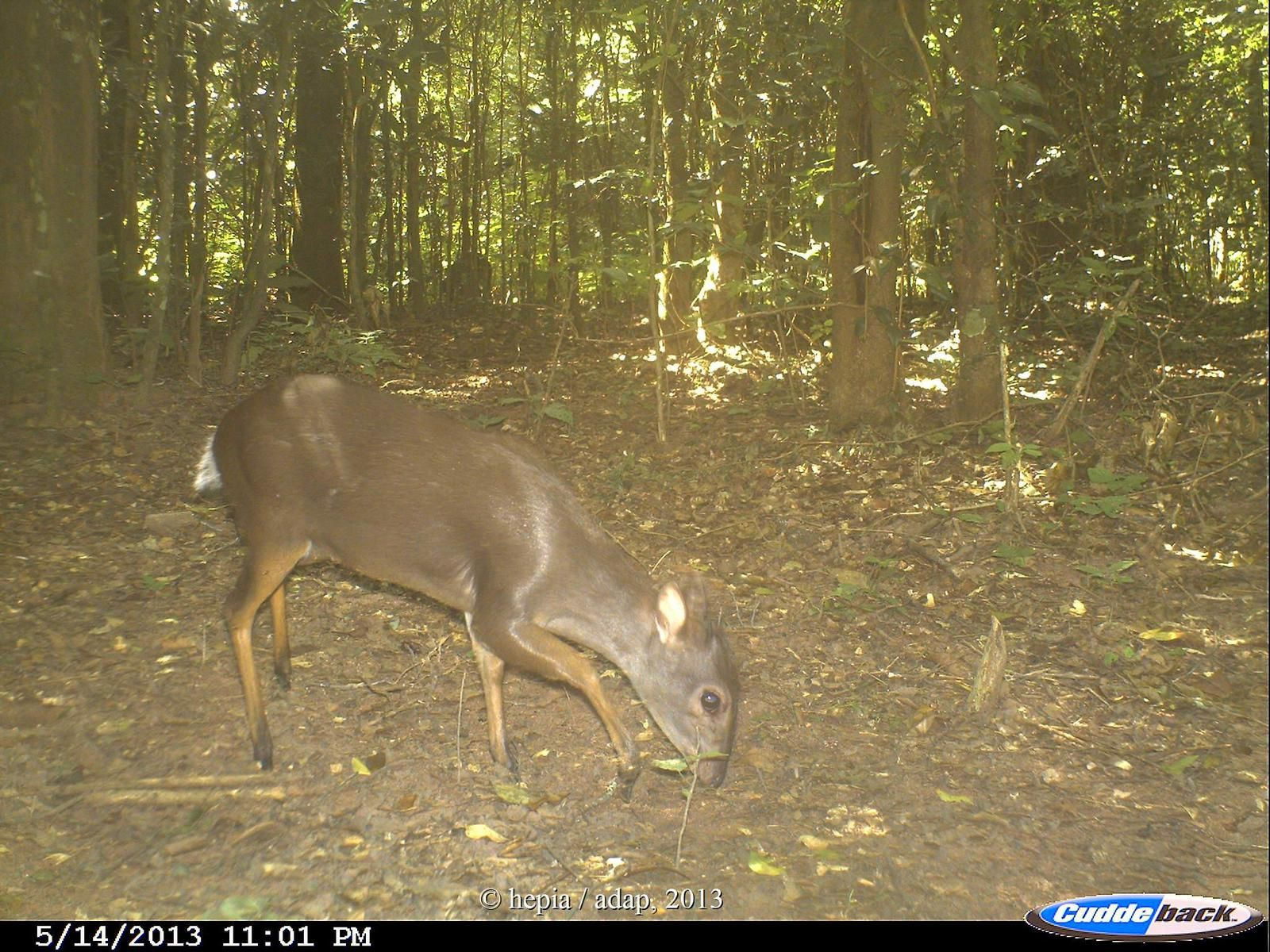Blue duiker in the miombo woodlands
