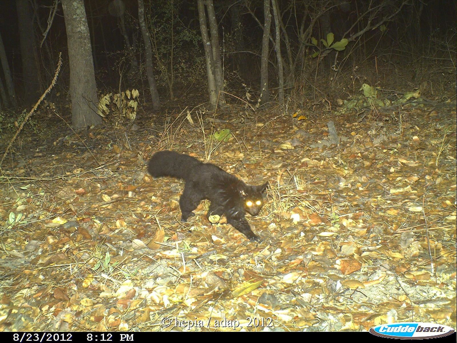 The black morph of the Greater galago captured in Rukwa GR in 2012