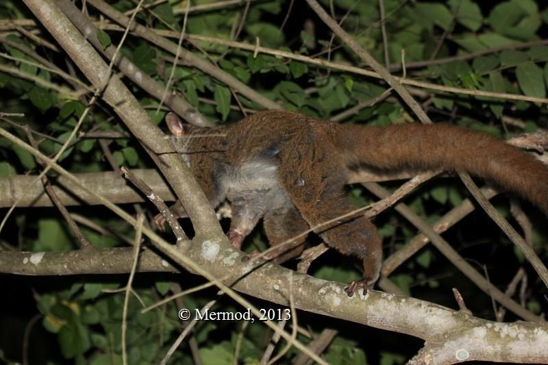 Pictures of normal morph of the Greater galago, Selous GR, 2013