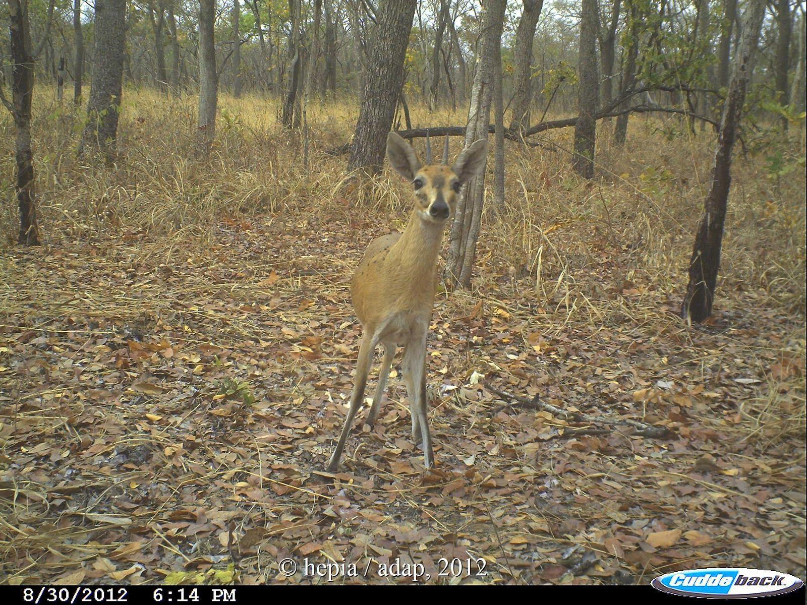 Bushbuck (Tragelaphus scritus), hyena (Crocuta crocuta) and common duiker (Sylvicapra grimmia)