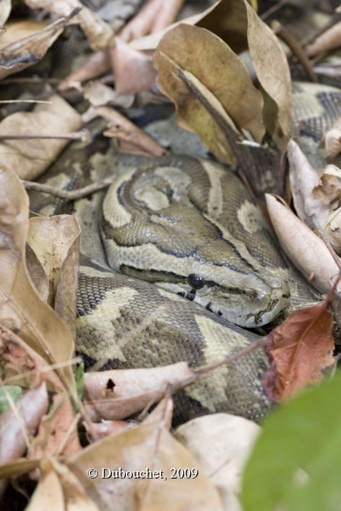 Southern African rock python (Python natalensis)