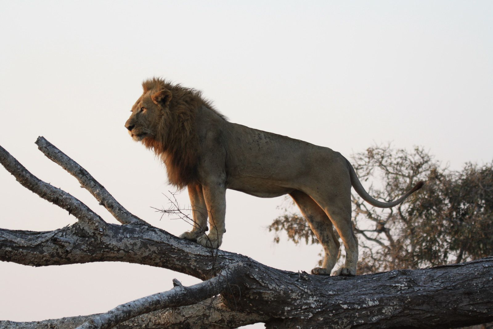 A climbing tree lion in Chada..
