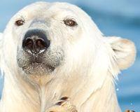 Ours polaire en difficulté !