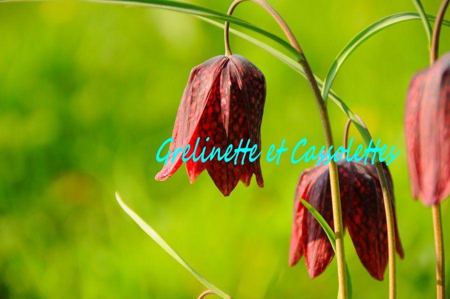 Fritillaire Pintade, Fritillaria Meleagris