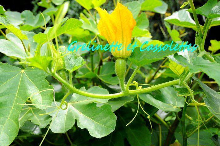 Fleur de courge Spaghetti coureuse : sa liane s'est installée dans le figuier