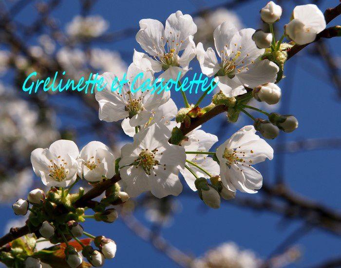 Les cerisiers sont pleins de promesses