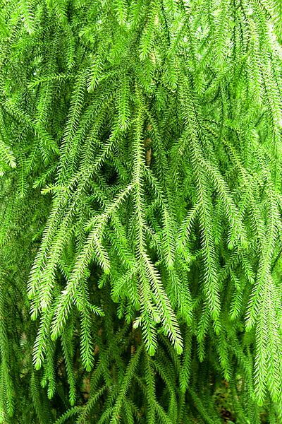Dacrydium cupressinum, alimentation qui permet la reproduction du Kakapo.
