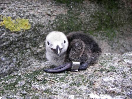 Le Pingouin Torda, Alca Torda, espèce en voie de disparition