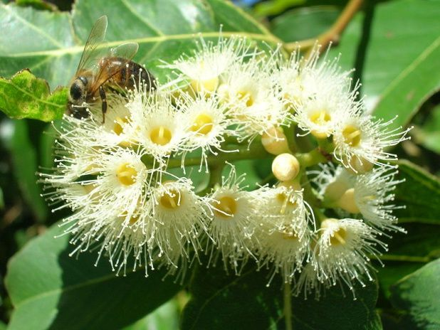 L'Eucalyptus Arc-en-ciel, Eucalyptus deglupta, Road to Hana, Hawaï