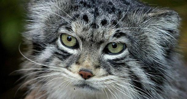 Otocolobus Manul, Chat de Pallas, Asie Centrale,  Félin quasi-menacé d'extinction