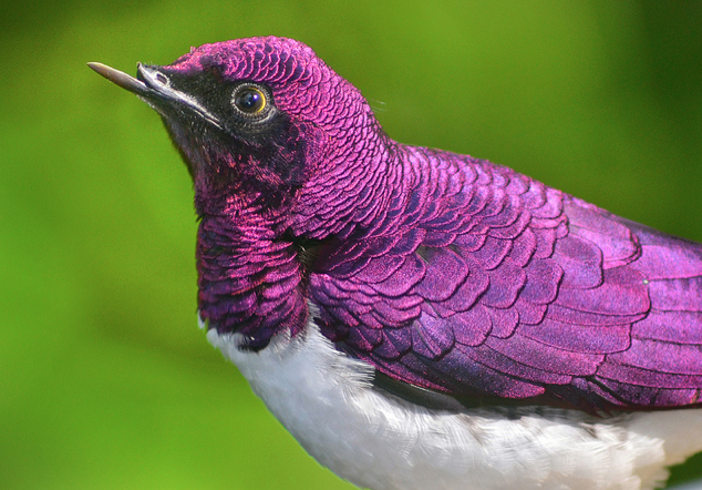 Voir d'autres photos : http://featuredcreature.com/violet-backed-starling-stuns-with-its-amethyst-coat-of-feathers/