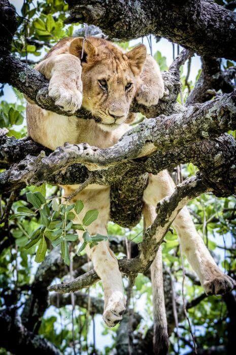 Les Lions se réfugient dans un arbre au Serengeti, Tanzanie, Photographe Bobby-Jo Clow