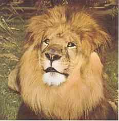 Clarence, le lion de Daktari, son histoire