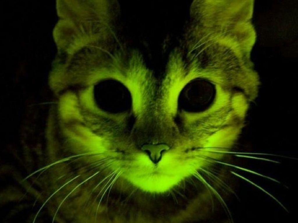 Les chats fluorescents, recherche pour combattre le sida