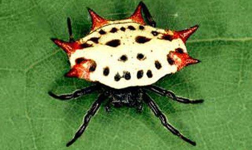 Gasteracantha Cancriformis, une araignée colorée, Amérique