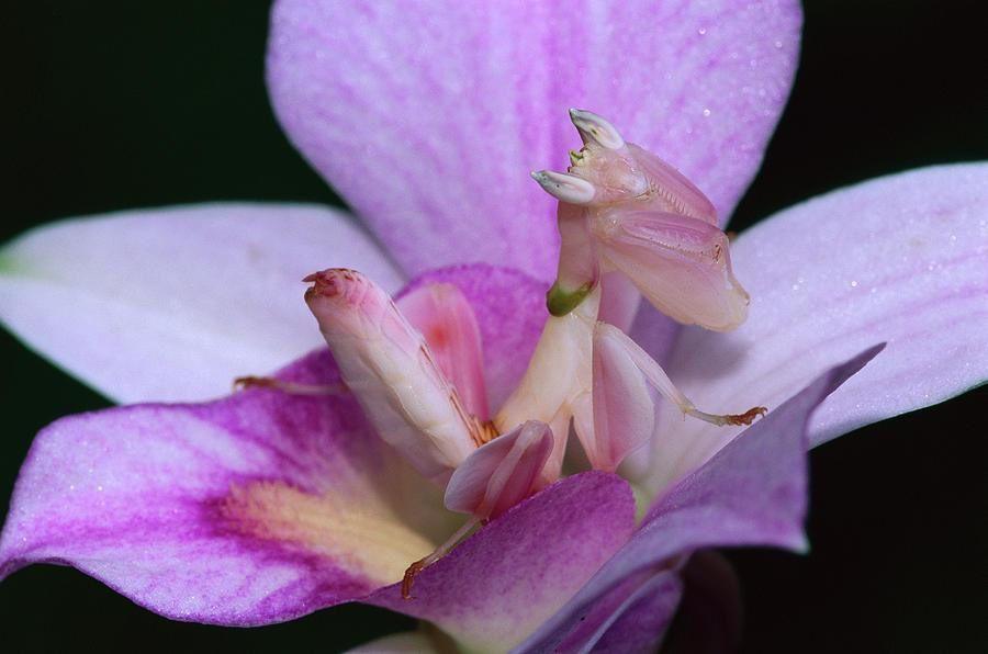 La Mante Orchidée, Hymenopus Coronatus, Asie