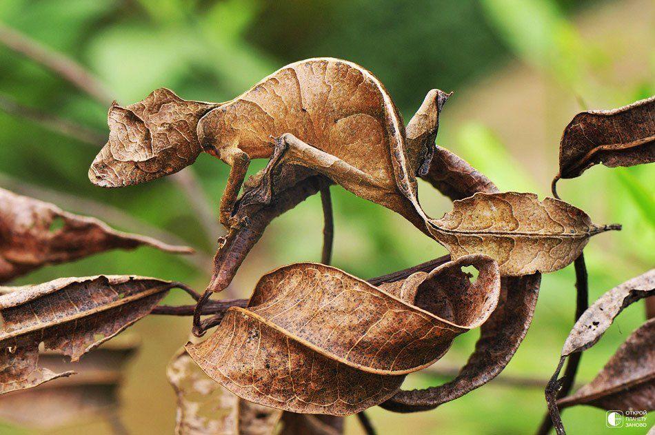 Uroplatus Phantasticus,  Un gecko qui imite les feuilles d'arbre, Madagascar
